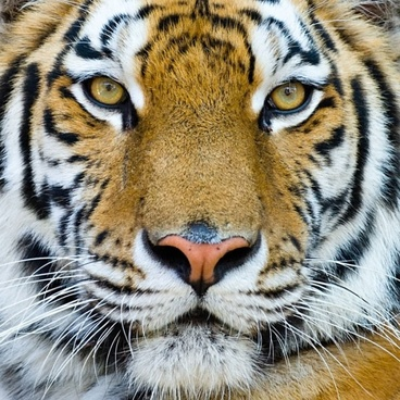 tiger background free stock photos download 8 563 free stock photos
