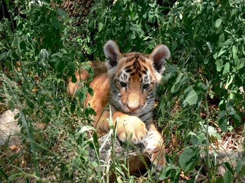 tiger cub grass