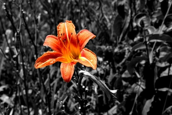 tiger lily color orange