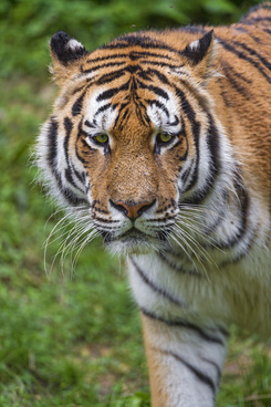tiger looking sad