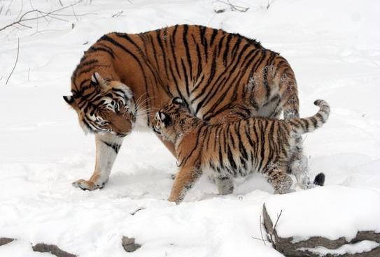 tiger siberian tiger tiger baby