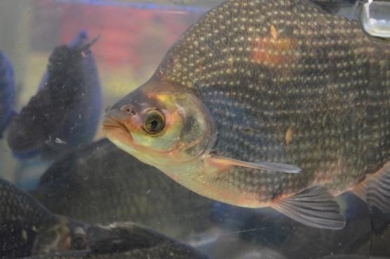 tilapia fish