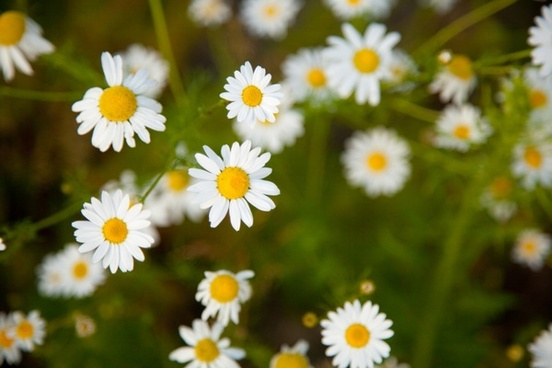 tiny chamomile flowers