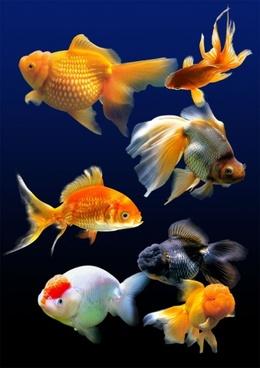 to 7 hd goldfish psd layered