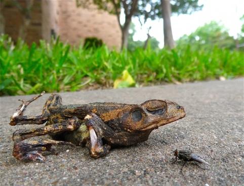 toad fly roadkill