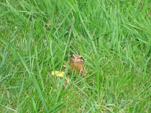 toad frog grass