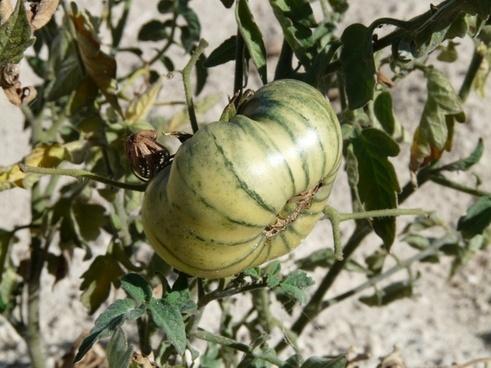tomato immature green