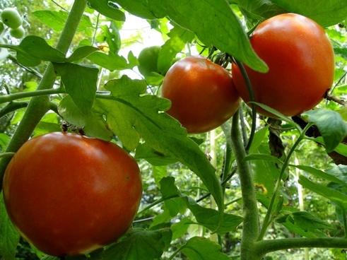 tomatoes tomato vine