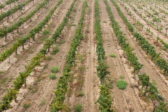 top view of rows of grape vines in a vineyard