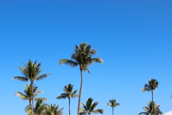 tops of palm trees on clear blue sky