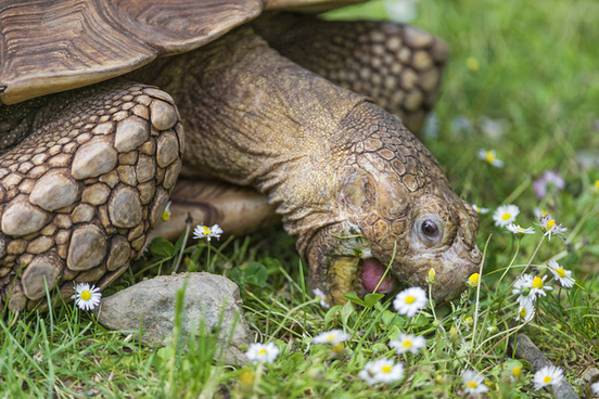 tortoise eating daisies