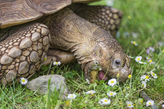tortoise eating daisies