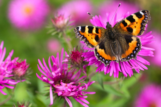 tortoiseshell butterfly featured in the somerset wildlife trust calendar for 2014