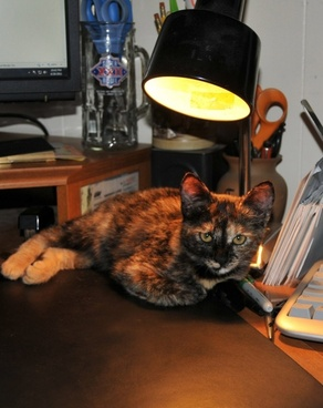 tortoiseshell cat in the spotlight