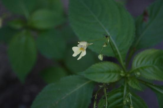 touchmenot flower