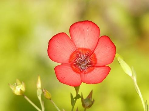 translucent red lein flower