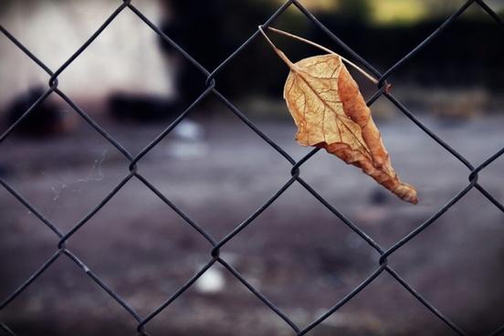 trapped dry leaf dry