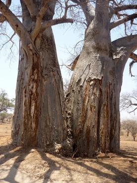 tree baobab log