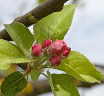 tree blossom flower