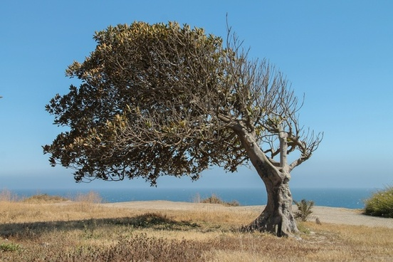 tree blown to side by ocean