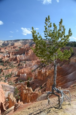tree bryce canyon bryce canyon national park