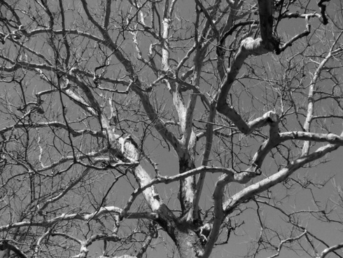 tree dead gnarled