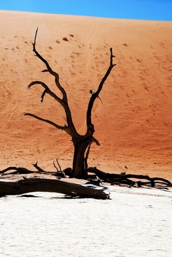 tree desert namib
