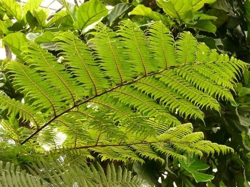 tree fern fern dicksonia antarctica