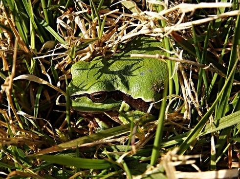 tree frog tree frog