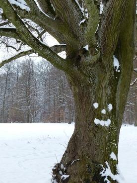 tree gnarled old