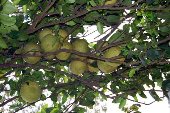 tree heavy with pomelo