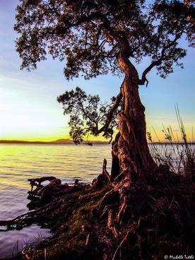 tree in australian sunset
