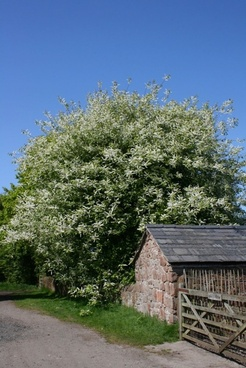 tree in blossom at farm gate