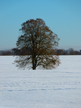 tree linde winter