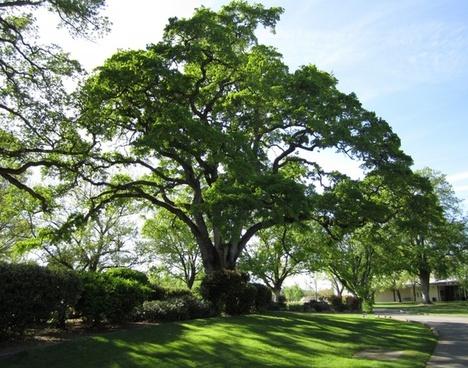 tree nature oak tree