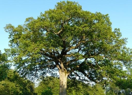 tree oak large