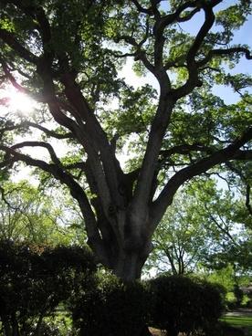 tree oak tree nature