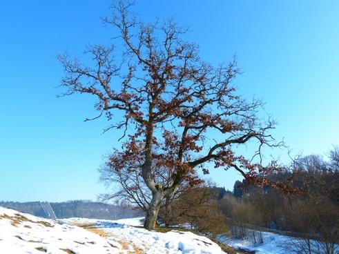 tree oak winter