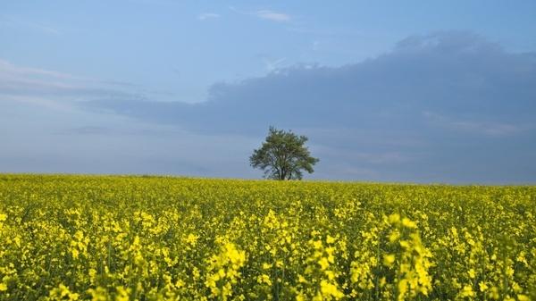 tree oilseed rape yellow
