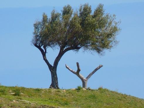 tree olive tree wind