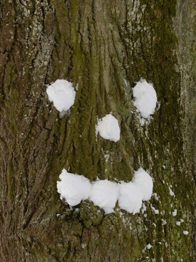 tree snow forest spirit