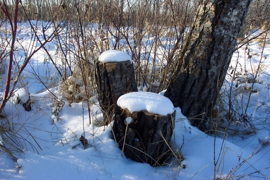 tree stumps in the snow