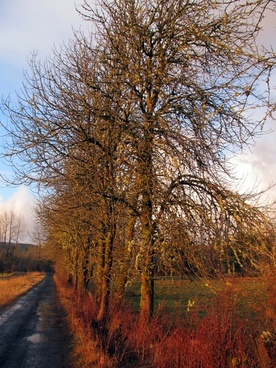 trees along a country lane