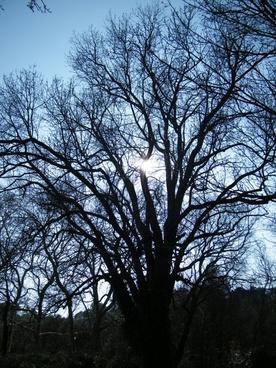trees leaves old tree