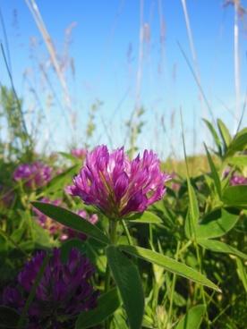 trifolium pratense clover flower red clover