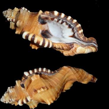 triton slugs snail littorinimorpha