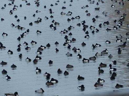 tufted duck ducks waterfowl