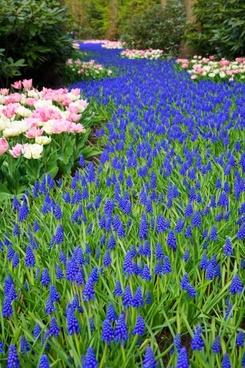tulip beautiful bloom