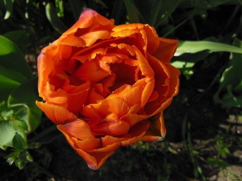 tulip double tulips orange