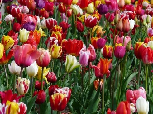 tulip field tulip tulpenbluete